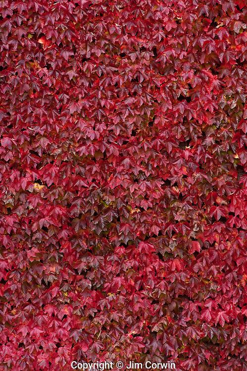 Vine maple autumn colors on college campus