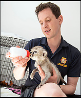 BNPS.co.uk (01202 558833)<br /> Pic: PhilYeomans/BNPS<br /> <br /> Keeper Matt Cleverley gives round the clock care.<br /> <br /> Miracle Grow - Xena the abandoned Cheetah cub is thriving after being hand reared by her keepers at Longleat Safari Park in Wiltshire.<br /> <br /> This adorable cheetah cub is being hand reared by her keeper at a British safari park after she was abandoned by her mother.<br /> <br /> The seven week old female cub, nicknamed Xena after the warrior princess to mark her battling qualities, was just 10 days old when she was discovered cold, weak and on her own.<br /> <br /> Now, after failed attempts to reunite the mother and daughter, the keepers at Longleat Safari Park in Wiltshire are rearing Xena by hand, bottle feeding her every four hours day and night.