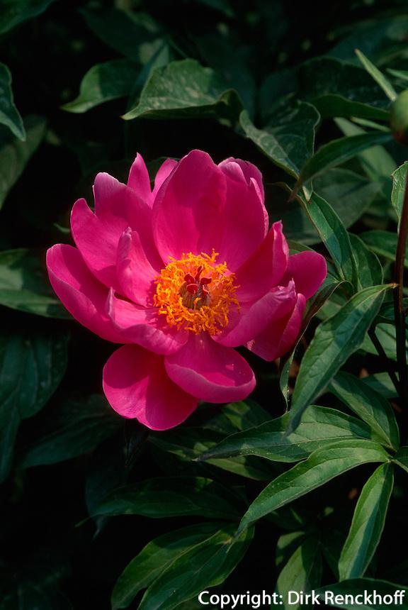 China, Peking, Päonienblüte im botanischen Garten