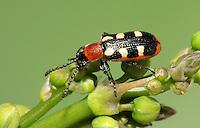 Asparagus Beetle - Crioceris asparagi