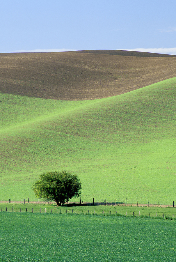 Lonely tree in field of wheat, Palouse area, Washington.