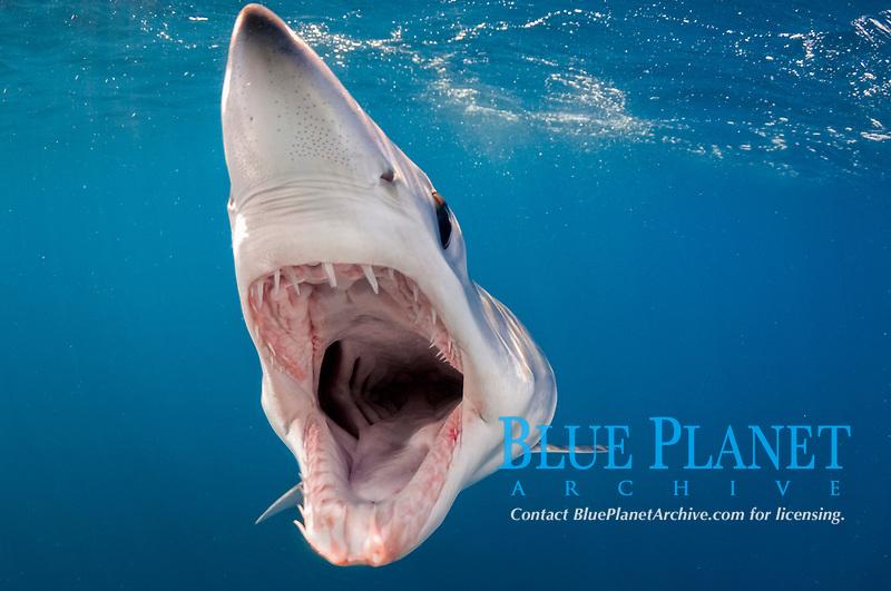 Shortfin Mako Shark, Isurus oxyrinchus, with open jaws, showing teeth, gills and throat, San Diego, California, USA, Pacific Ocean