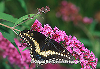 03009-01319 Black Swallowtail (Papilio polyxenes) male on Butterfly Bush (Buddleia davidii) Marion Co. IL