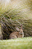 USA, California, San Diego, jack rabbit in the bushes outside Hotel Del Coronado