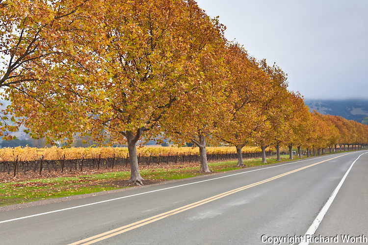 North of Napa in California's wine country, Oakville Cross Road is lined in golden fall color.