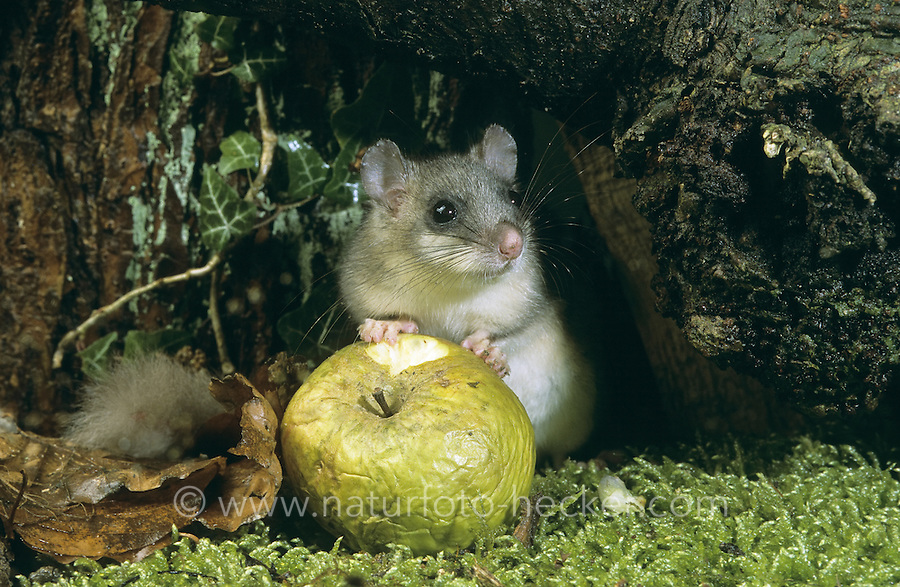 Siebenschläfer, frisst Apfel, Glis glis, edible dormouse, edible commoner dormouse, fat dormouse, squirrel-tailed dormouse, Schläfer, Bilch, Bilche