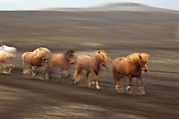 Icelandic horse in motion, Iceland