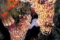 nudibranch, or sea slug, Jorunna rubescens (Kentrodoris rubescens), mating, Tulamben Bay, Bali, Indonesia