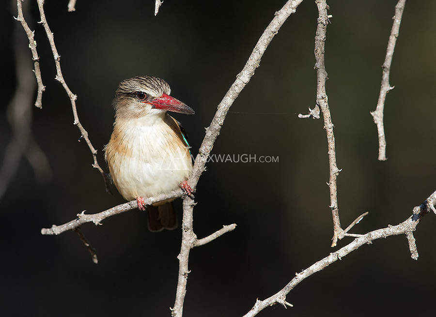 The Brown-hooded kingfisher is the one African species that's commonly found in woodland and away from consistent sources of water.