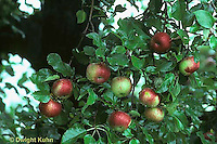 AT10-005c   Apple Tree - fruit, Wolf River variety