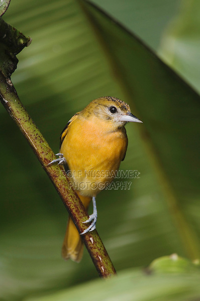 Baltimore Oriole, Icterus galbula, female perched on Tree fern, Central Valley, Costa Rica, Central America, December 2006