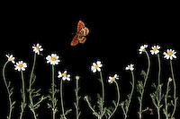 Corn Chamomile, Anthemis arvensis, and Heath Fritillary butterfly, Mellicta athalia, Stenje region, Lake Macro Prespa (850m) <br /> Galicica National Park, Macedonia, June 2009<br /> Mission: Macedonia, Lake Macro Prespa /  Lake Ohrid, Transnational Park<br /> David Maitland / Wild Wonders of Europe
