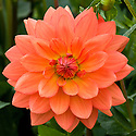 Dahlia 'Shep's Memory', early September.
