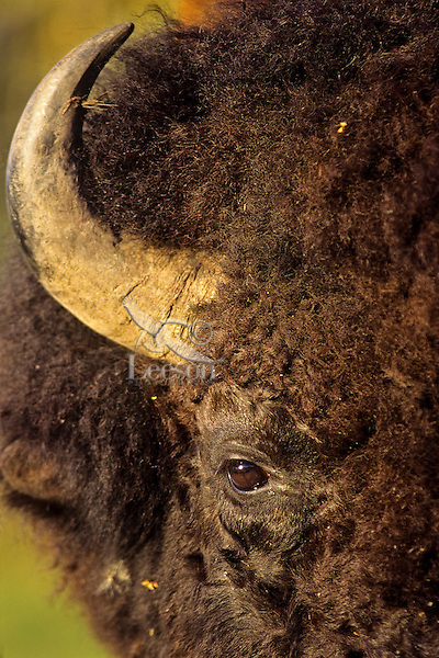 Bull Bison (Bison bison), Western U.S., summer.