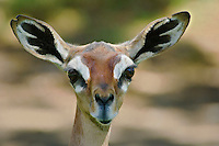 Gerenuk female