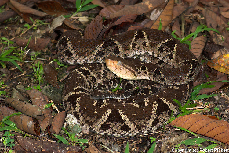 Fer-de-lance Snake, Bothrops asper, Costa Rica, nocturnal, hiding in leaf litter or among roots during the day inhabits tropical rainforest and evergreen forest, venemous.Central America....
