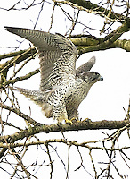 Adult gyrfalcon raising its wings as it is about to take flight in search of prey.<br />