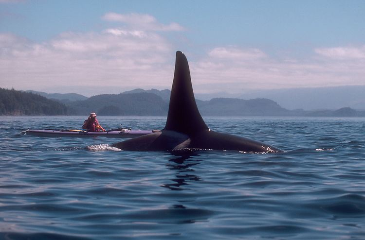 Orca whale, Sea kayaker, Johnstone Strait, Vancouver Island, British Columbia, Canada, Inside Passage,.