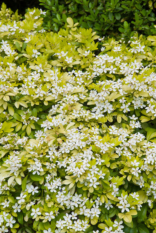 Choisya ternata sundance plant flower stock for White flowering bush