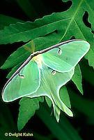 LE10-067x  Luna Moth - male adult with large antennae - Actias luna