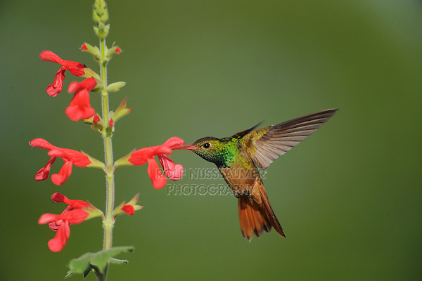 Buff-bellied Hummingbird (Amazilia yucatanenensis), adult feeding on Red Sage (Salvia sp.), Sinton, Corpus Christi, Coastal Bend, Texas Coast, USA