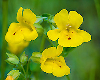 Common Monkeyflower or yellow monkeyflower (Mimulus guttatus).  Pacific Northwest.  Summer.