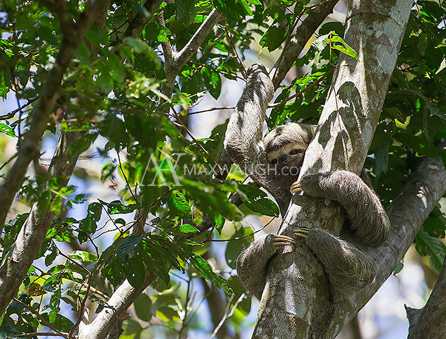 We saw several sloths during the tour, including this three-toed sloth.