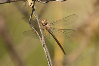389300012 a wild evening skimmer dragonfly tholymis citrina perches on a small branch at santa ana national wildlife refuge rio grande valley texas united states