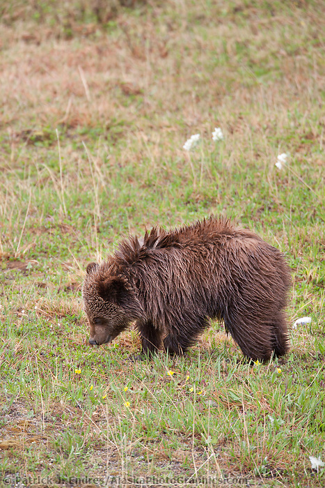Year old grizzly bear cub on the tundra in Denali National Park, Alaska.