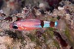 Apogon robinsi, Roughlip cardinalfish, Roatan