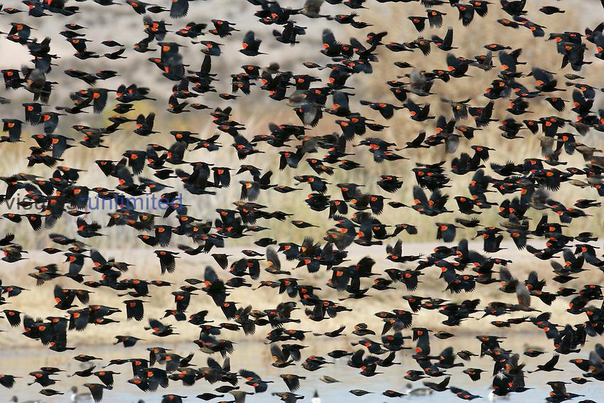 Flying flock of Red-winged Blackbirds (Agalaius phoeniceus), North America.