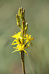 Bog Asphodel, Narthecium ossifragum, Hothfield Heathlands, Kent UK, Kent Wildlife Trust
