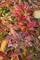 Hydrangea macrophylla 'Edgy Orbits' = 'Harbits' fall foliage & flowers