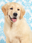 Cute Golden Retriever four month old puppy on blue wallpaper background