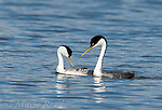 Western Grebes (Aechmophorus occidentalis), two in breeding plumage during courtship interaction, California, USA