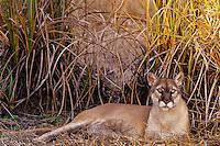 Florida Panther (Puma concolor coryi), Florida, endangered species.