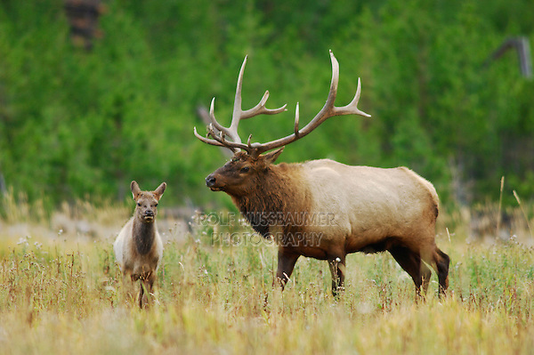 Elk, Wapiti, Cervus elaphus, bull with calf,  Yellowstone NP,Wyoming, USA