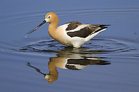 American Avocet eating from a marsh