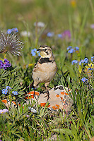 Female Horned Lark or Shore Lark (Eremophila alpestris) at nest.  Western U.S., Summer.