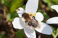 Sandbiene, beim Blütenbesuch an Buschwindröschen, Busch-Windröschen, Anemone nemorosa, Andrena spec., Mining-Bee, Small Sallow Mining Bee, burrowing bee, Sandbienen, mining bees, burrowing bees.