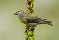 Red crossbill (Loxia curvirostra) Adult female perched on a moss covered branch and displaying its dorsal plumage detail.<br /> Woodinville, King County, Washington State<br /> 6/1/2012