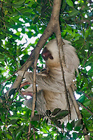 Three toed sloth, Costa Rica, Central America.