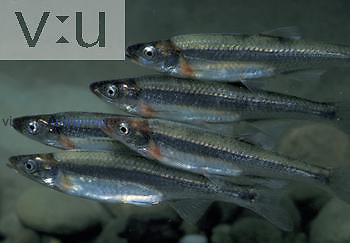 Rosyface Shiners (Notropis rubellus). Central USA.