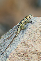 442800007 a wild yellow-backed spiny lizard sceloparus uniformis perches on a rockalong chalk bluffs road inyo county california united states