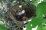 Three newly hatched baby mocking birds sleep while their sibling works on hatching from the egg.