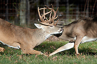 White-tailed Bucks Fighting
