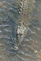 American Crocodile, Carara, Costa Rica, Central America