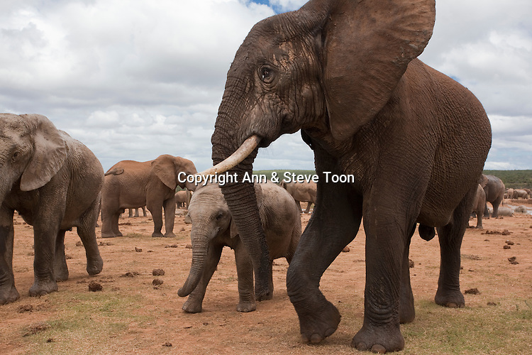 Elephants, Loxodonta africana, Addo national park, Eastern Cape, South Africa