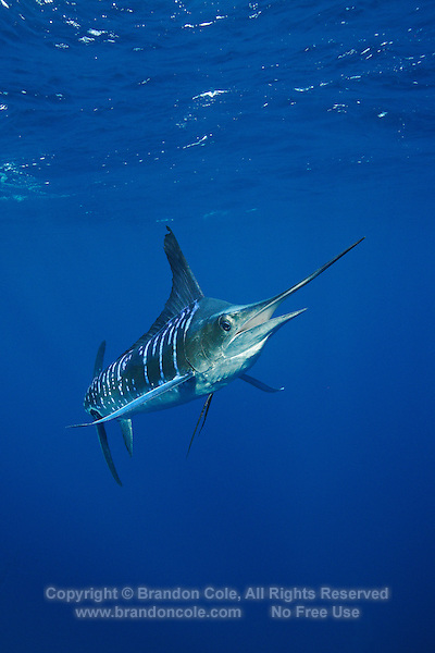 qf2907-D. Striped Marlin (Tetrapturus audax). Baja, Mexico, Pacific Ocean..Photo Copyright © Brandon Cole. All rights reserved worldwide.  www.brandoncole.com..This photo is NOT free. It is NOT in the public domain. This photo is a Copyrighted Work, registered with the US Copyright Office. .Rights to reproduction of photograph granted only upon payment in full of agreed upon licensing fee. Any use of this photo prior to such payment is an infringement of copyright and punishable by fines up to  $150,000 USD...Brandon Cole.MARINE PHOTOGRAPHY.http://www.brandoncole.com.email: brandoncole@msn.com.4917 N. Boeing Rd..Spokane Valley, WA  99206  USA.tel: 509-535-3489