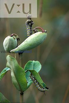Monarch butterfly larva ,Danaus sp.,